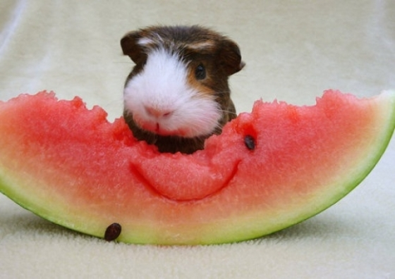 l-Guinea-pig-eating-water-melon