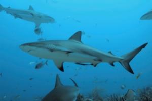 swimming_sharks